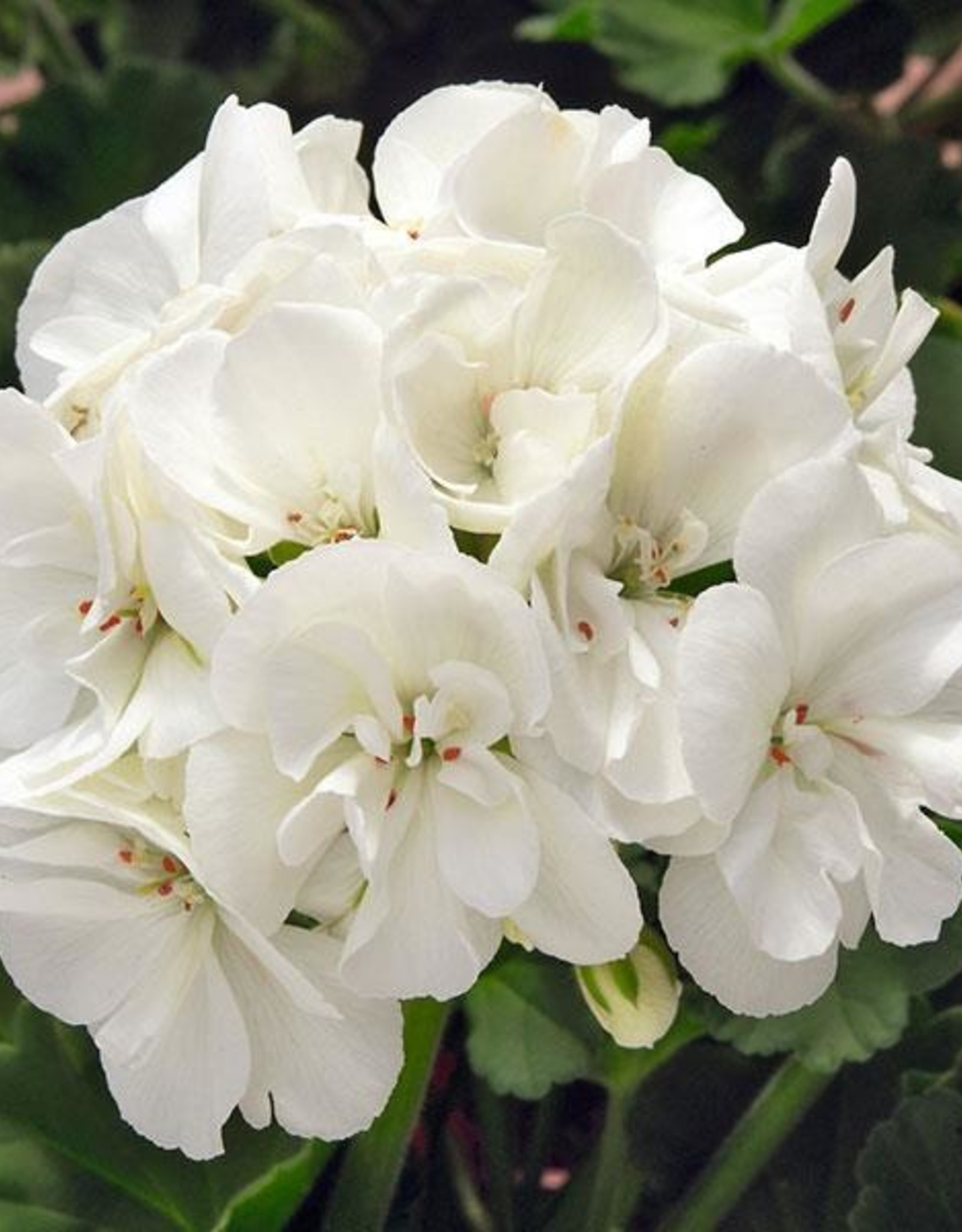 "Squak Mtn Zonal Geranium 'Sunrise White' 6"" Pot"