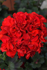 "Squak Mtn Zonal Geranium 'Supermoon Red' 2"" Pot"