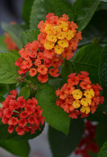Squak Mtn Lantana 'Bloomify Red' 4""
