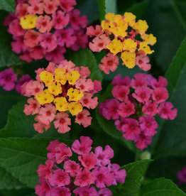 Squak Mtn Lantana 'Bloomify Rose' 4""