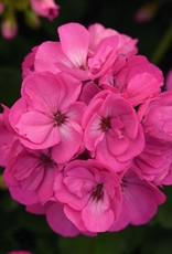"Squak Mtn Zonal Geranium 'Sunrise Bright Lilac' 4"" Pot"