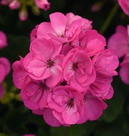 "Squak Mtn Zonal Geranium 'Sunrise Bright Lilac' 4"" Pot"