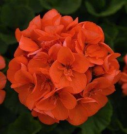 """Squak Mtn Zonal Geranium 'Sunrise Orange' 4"""" Pot"""