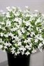 Squak Mtn Lobelia 'Hot Snow White' 4""