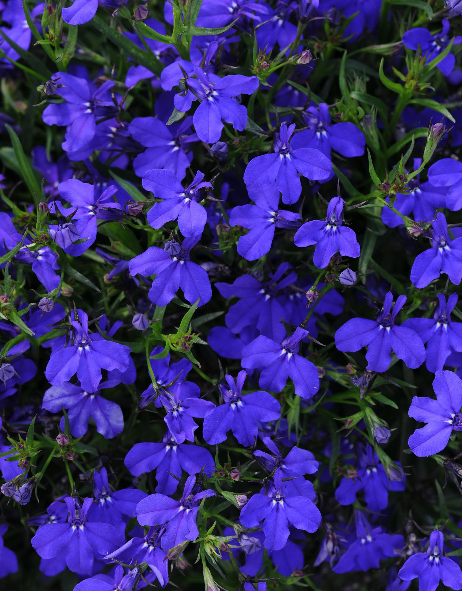 "Squak Mtn Lobelia 'Magadi Dark Blue' 4"""