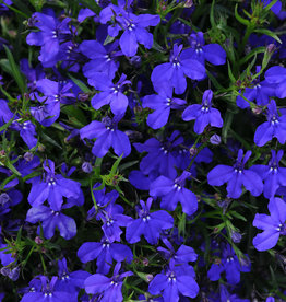 Squak Mtn Lobelia 'Magadi Dark Blue' 4""