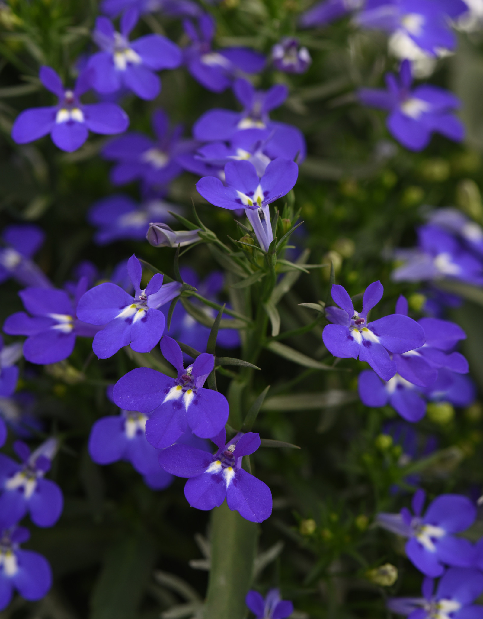Squak Mtn Lobelia 'Magadi Dark Blue Compact' 4""