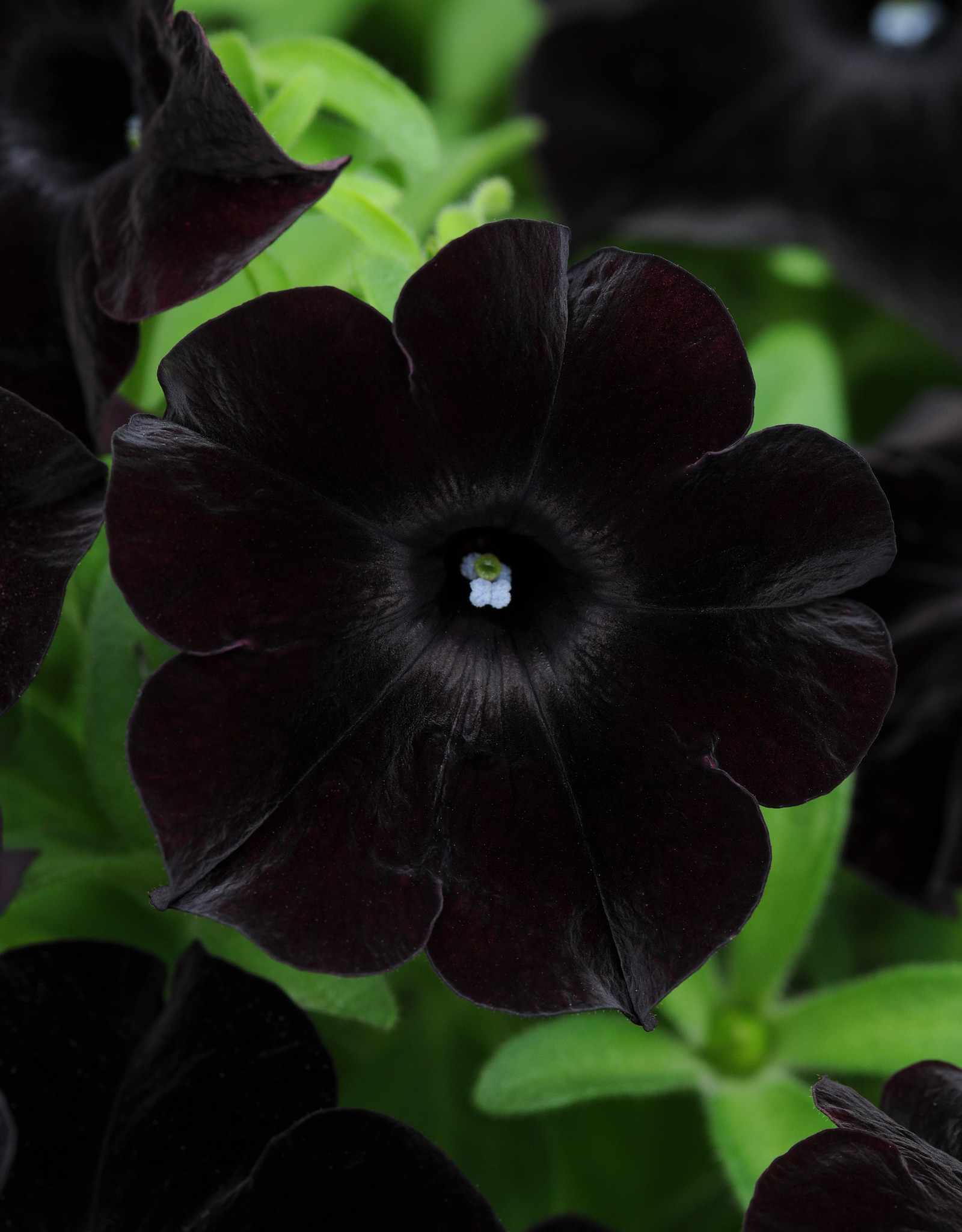 Squak Mtn Petunia 'Black Magic' 4""