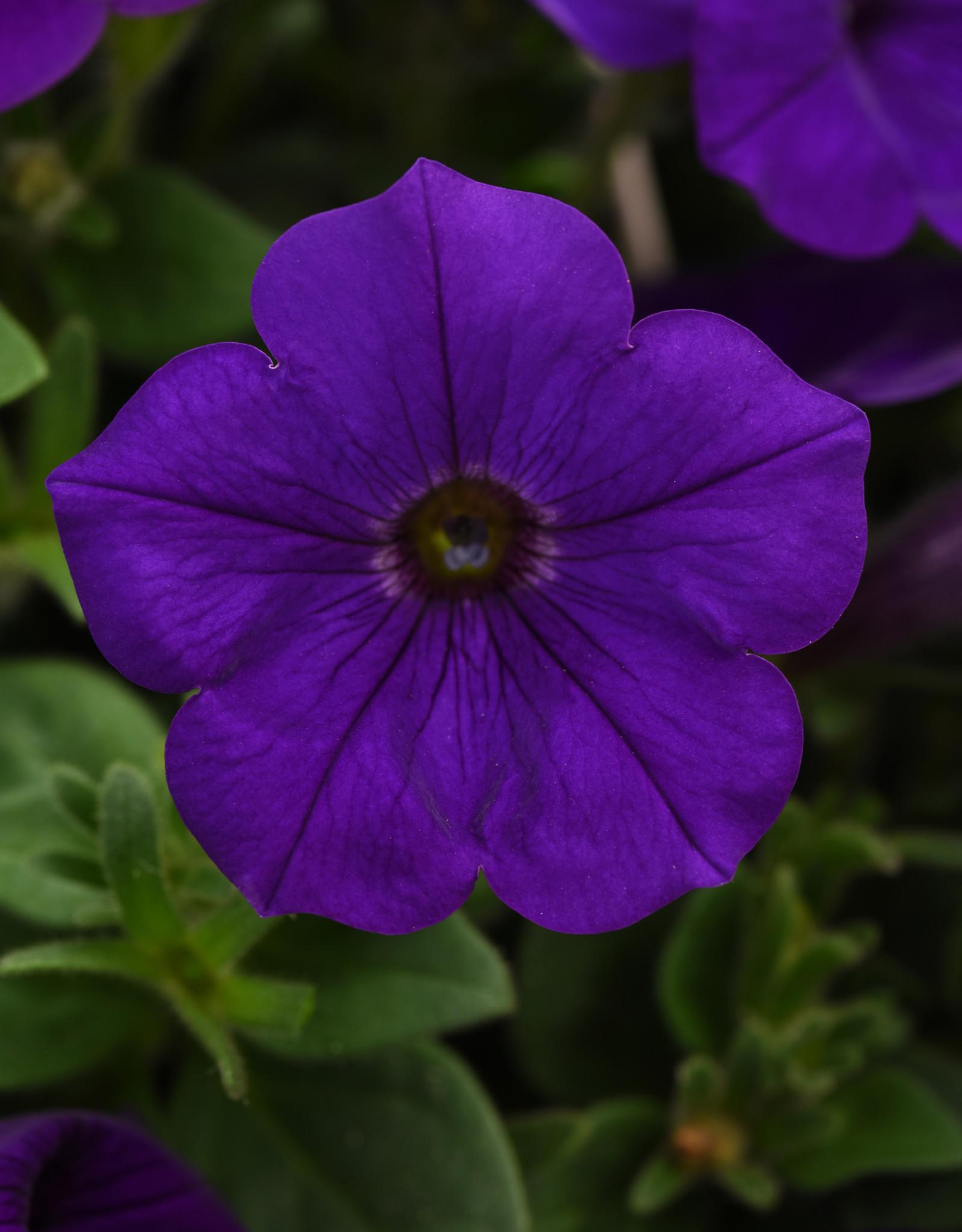 "Squak Mtn Petunia 'Headliner Blue' 4"""
