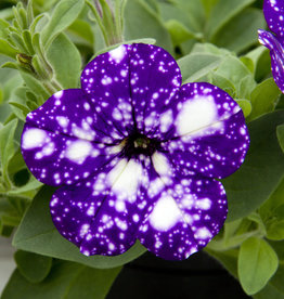 Squak Mtn Petunia 'Headliner Night Sky' 4""