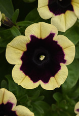"Squak Mtn Petunia 'Headliner Dark Saturn' 4"""