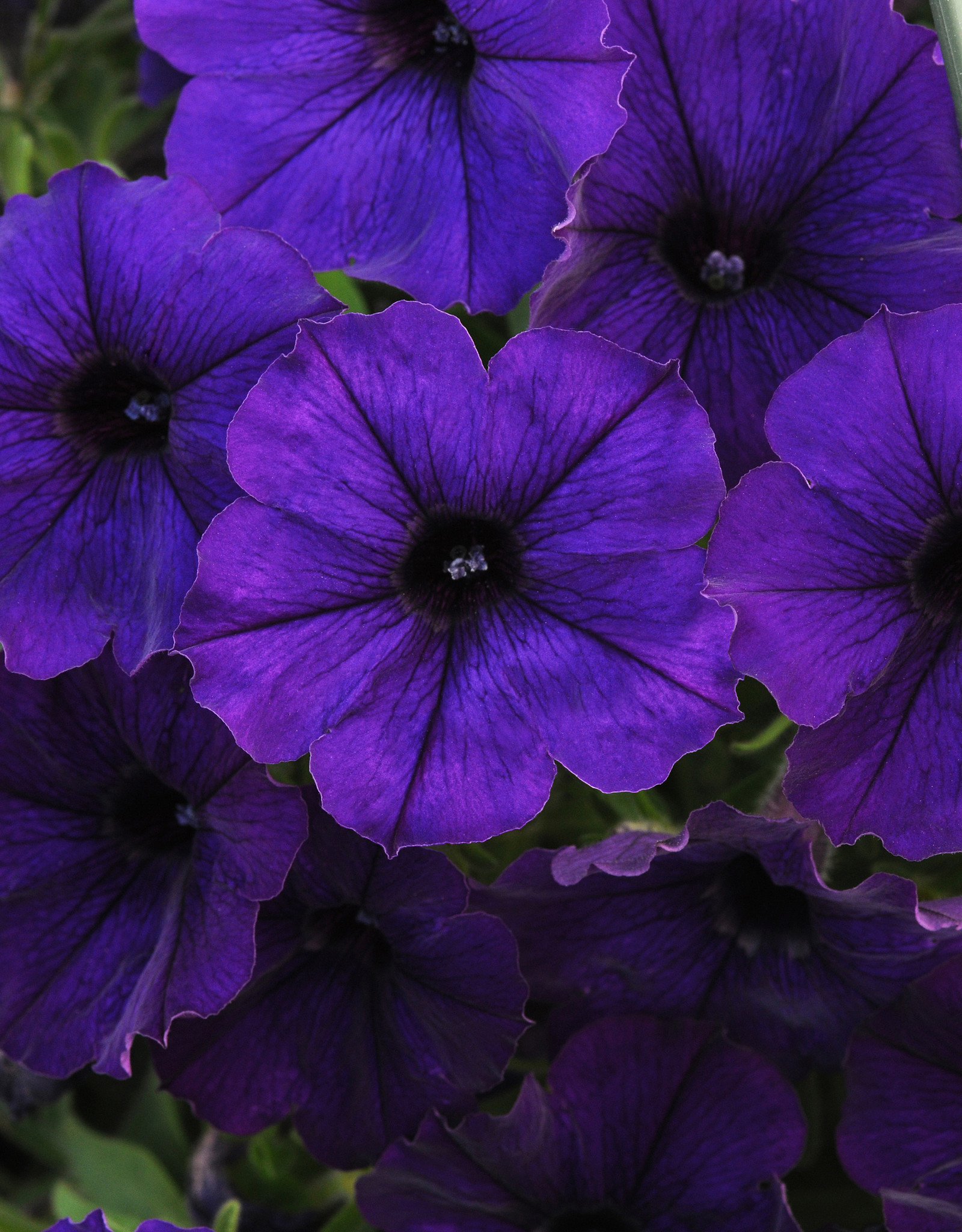 Squak Mtn Petunia 'Starlet Blue' 4""