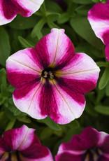 "Squak Mtn Petunia 'Starlet Magenta Star' 4"""