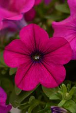 "Squak Mtn Petunia 'Starlet Magenta' 4"""