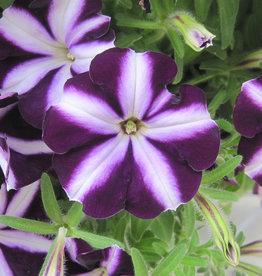 """Squak Mtn Petunia 'Starlet Purple Star' 4"""""""