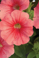Squak Mtn Petunia 'Starlet Salmon Red Vein' 4""