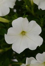 """Squak Mtn Petunia 'Starlet White' 4"""""""