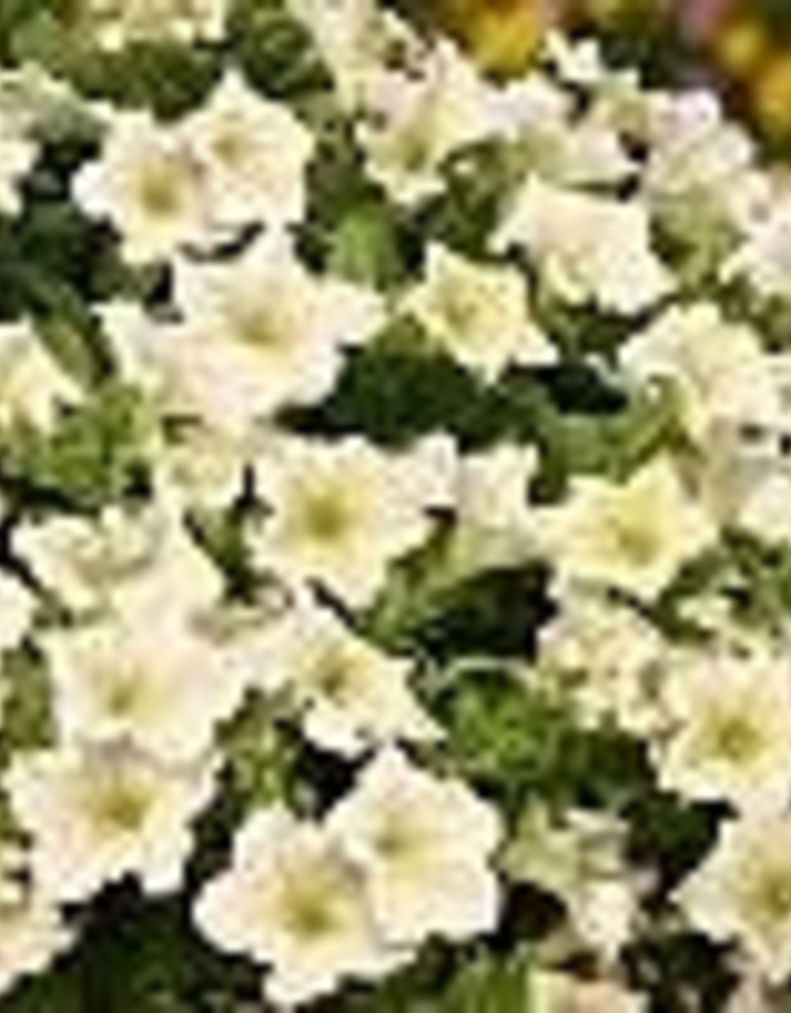 Squak Mtn Petunia 'Surfinia Lime' 4""