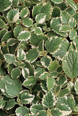 "Squak Mtn Plectranthus 'Coleoidis Vareigata' 4"""