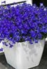 Squak Mtn Lobelia 'Hot Royal Blue' 4""
