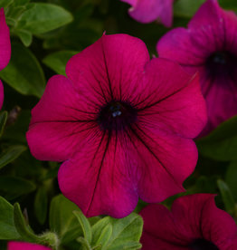 Squak Mtn Petunia 'Headliner Electric Purple' 4""