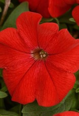 Squak Mtn Petunia 'Headliner Red' 4""