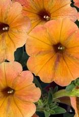"Squak Mtn Petunia 'Cascadias Indian Summer' 4"""