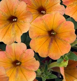 Squak Mtn Petunia 'Cascadias Indian Summer' 4""