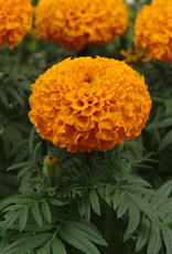 Squak Mtn Marigold 'Taishan Orange' 4""
