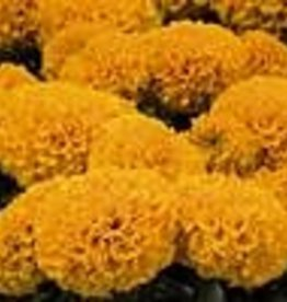 Squak Mtn Marigold 'Discovery Orange' 4""