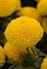 Squak Mtn Marigold 'Taishan Yellow' 4""