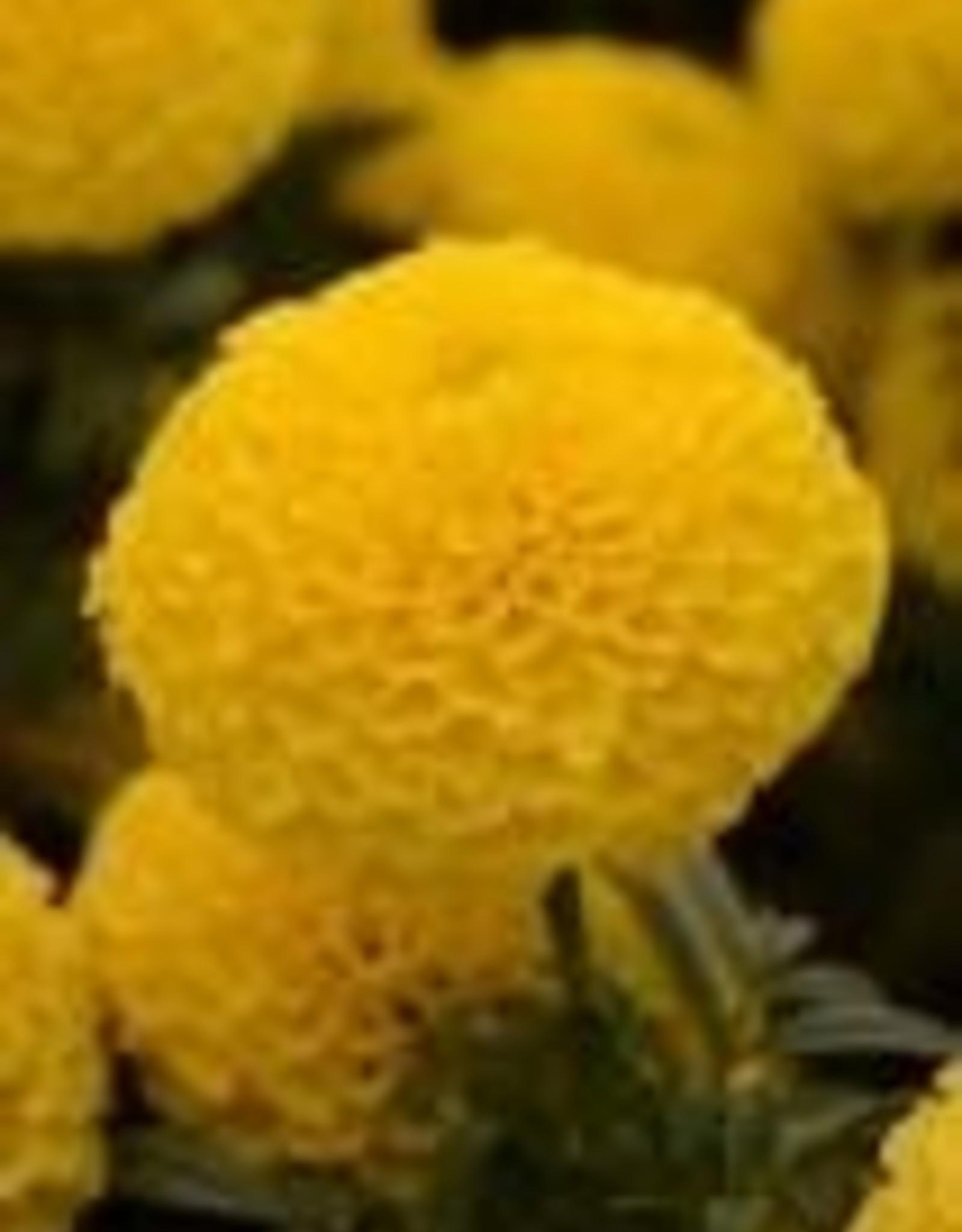 "Squak Mtn Marigold 'Taishan Yellow' 4"""