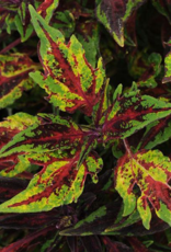 Squak Mtn Coleus FlameThrower Chili Pepper 4""