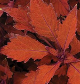 Squak Mtn Coleus FlameThrower Habanero 4""