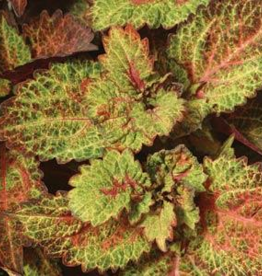 Squak Mtn Coleus Indian Summer 4""