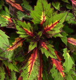Squak Mtn Coleus Special Effects 4""