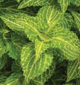 Squak Mtn Coleus Electric Lime 4""