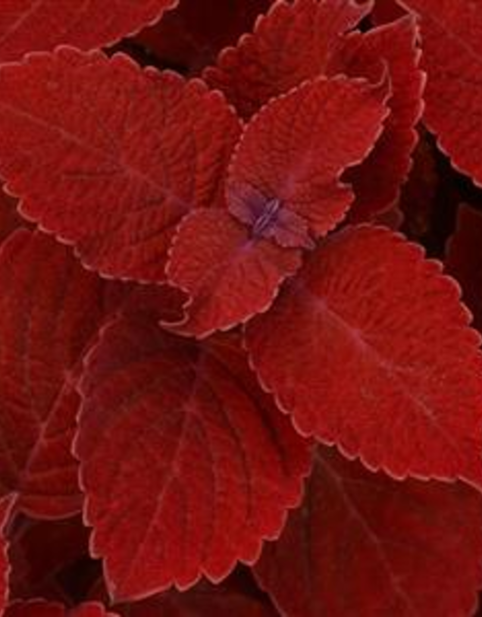 Squak Mtn Coleus Ruby Slipper 4""