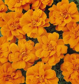 Squak Mtn Marigold 'Durango Tangerine' Jumbo Pack