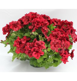 Squak Mtn Regal Geranium 'Elegance Claret' 4""