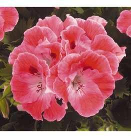 Squak Mtn Regal Geranium 'Elegance Sunrise' 4""