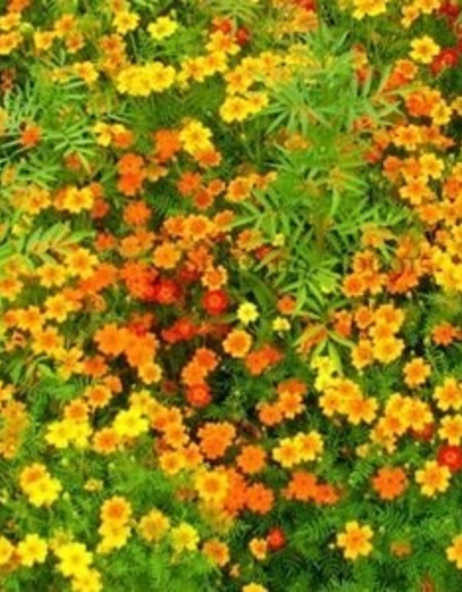 Squak Mtn Marigold 'Signet Gem Mix' Jumbo Pack