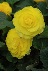 Squak Mtn Begonia Nonstop Yellow 4""