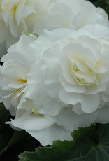 Squak Mtn Begonia Nonstop White 4""