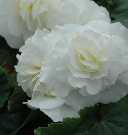 "Squak Mtn Begonia Nonstop White 4"""