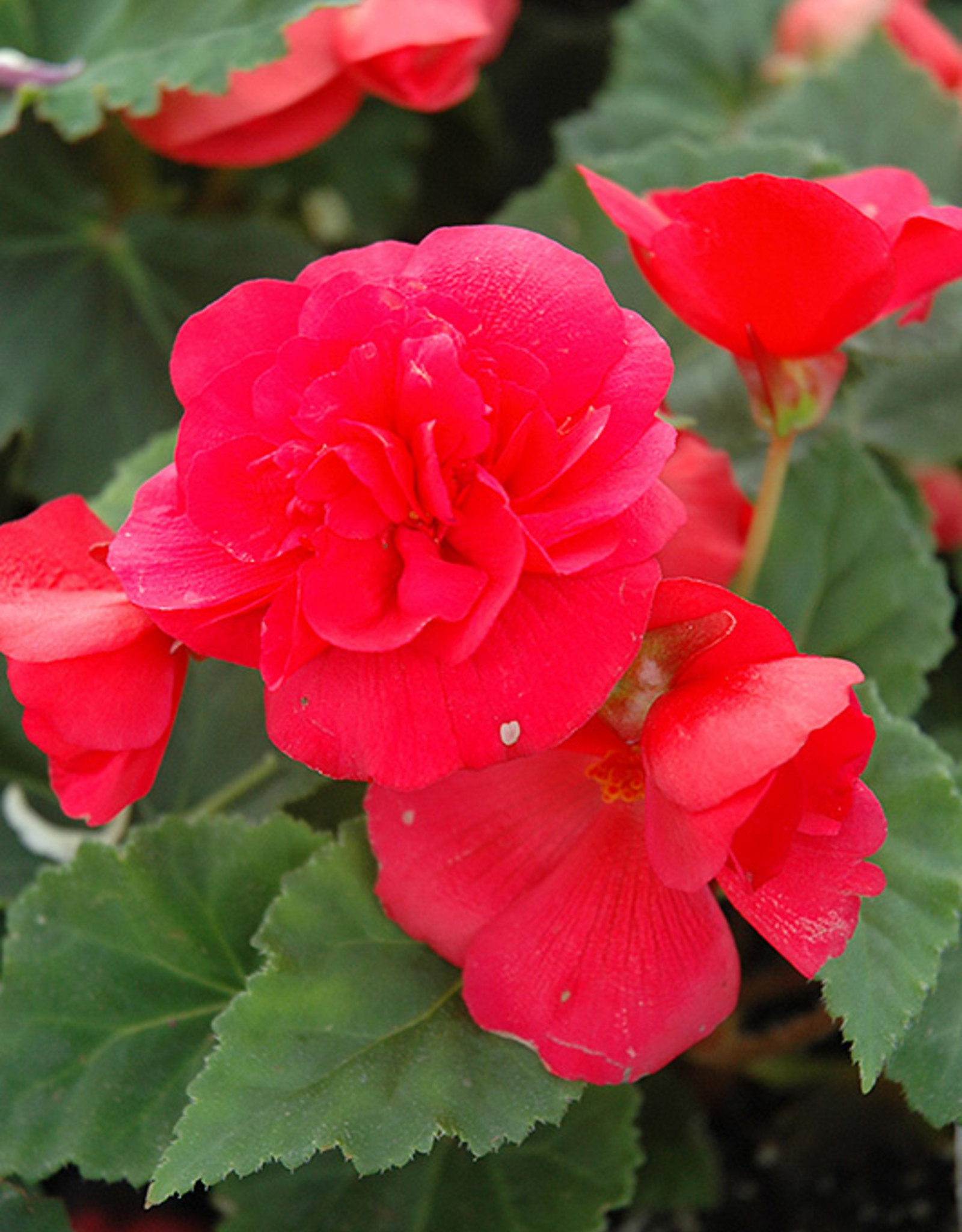 Squak Mtn Begonia Nonstop Rose 4""