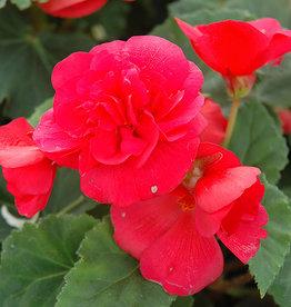"""Squak Mtn Begonia Nonstop Rose 4"""""""