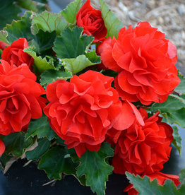 Squak Mtn Begonia Nonstop Red 4""