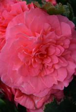 "Squak Mtn Begonia Nonstop Pink 4"""