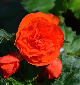 "Squak Mtn Begonia Nonstop Orange 4"""